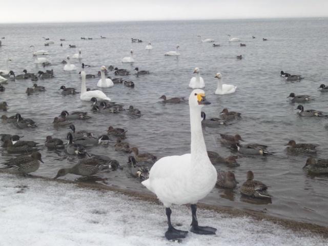 猪苗代湖の白鳥!!